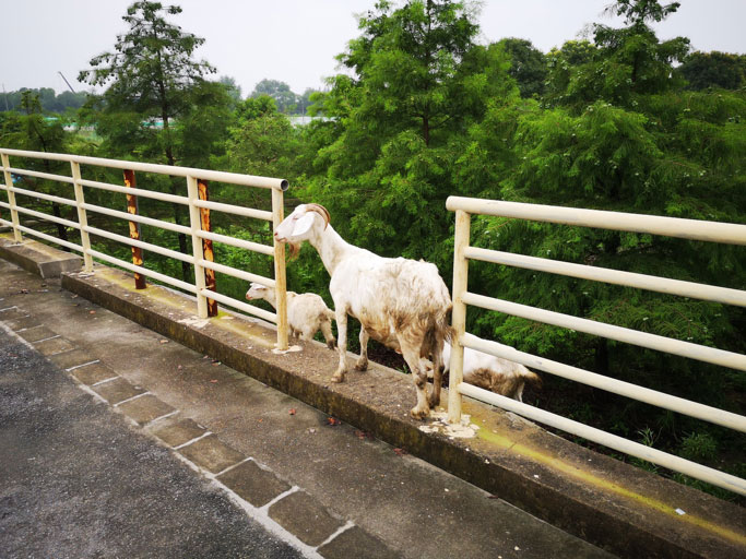 goat-family.jpg